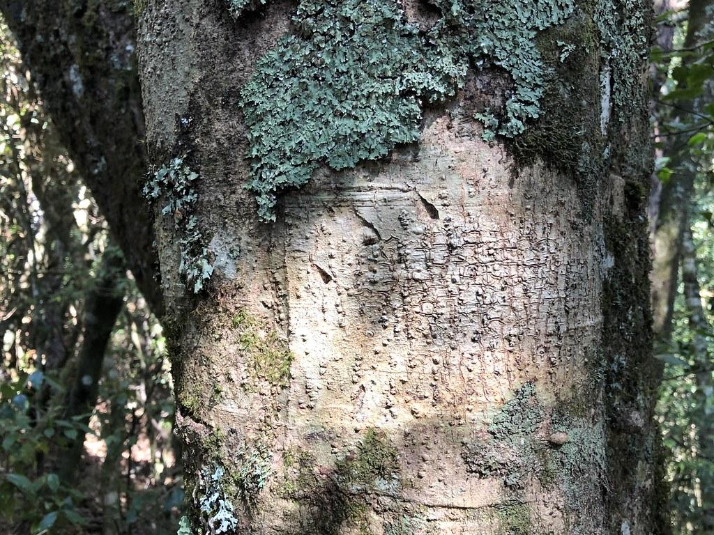 台灣黑熊在大雪山國家森林遊樂區留下的爪痕,為大雪山自然生態的豐富度掛保證。攝影:廖靜蕙