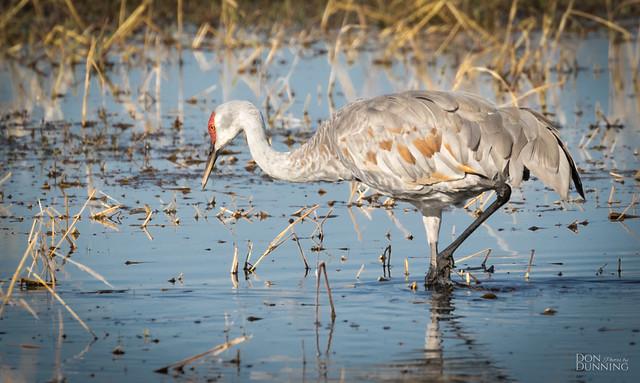 Lesser Sandhill Crane (Grus canadensis canadensis)