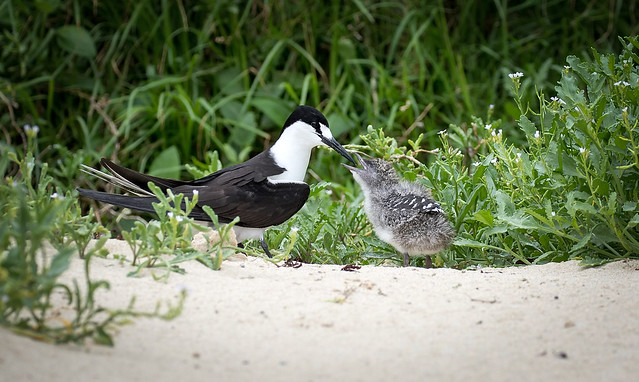 Sooty Tern and chick