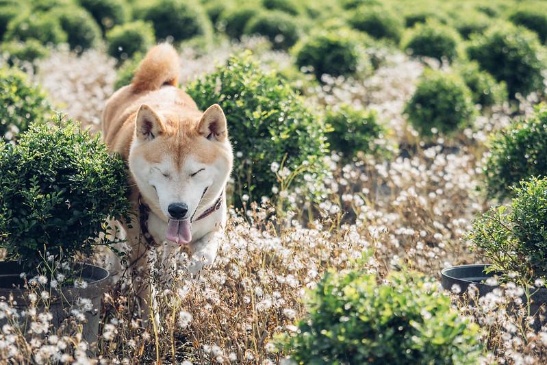 神獸寶拉|柴犬 Shiba Inu
