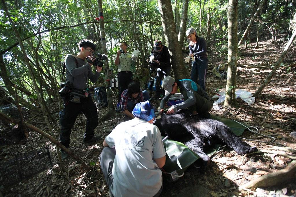 台灣黑熊捕捉繫放現場。圖片來源:東勢林管處提供