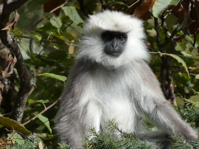 Macaco en Bután