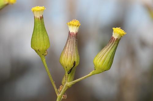Slender Groundsel (Senecio phelleus)