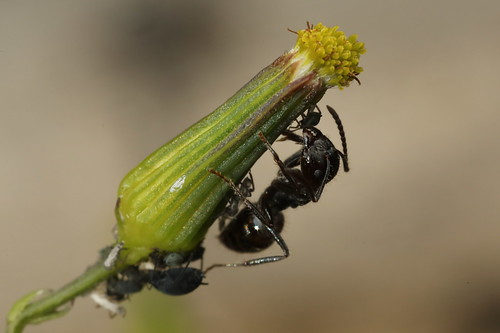 "Ant ""milking"" aphid"