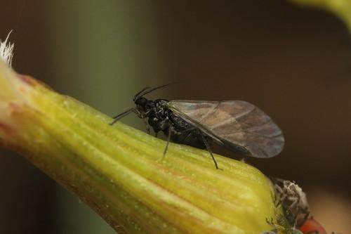 Gnat on groundsel