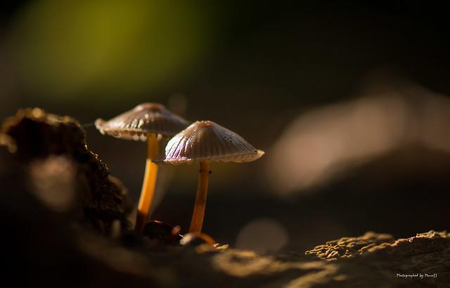Pilze - Fungi - Mushrooms - Duo