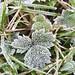 Crispy crunchy #frost #frostleaves #eastcork