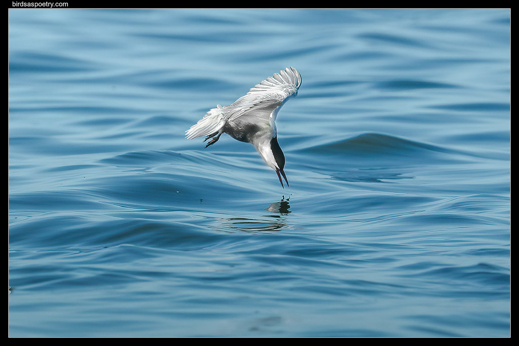 Whiskered Tern: On Target