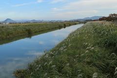 Susuki grass along Hayamagawa