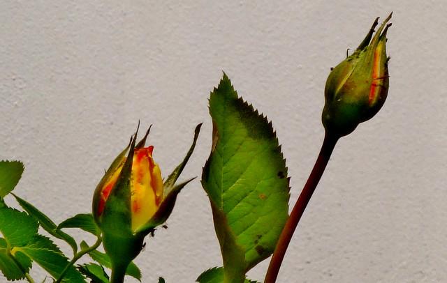 Blumen, Blüten, blossoms and flowers (serie) , Rosenknospen, 76809/12108