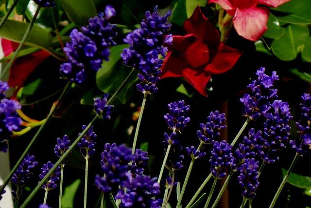 Blumen, Blüten, blossoms and flowers (serie) ,Lavendel  76810/12109