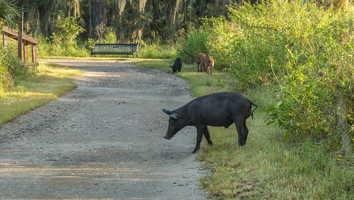 Pigs and the Bench at the End of the Trail - HBM