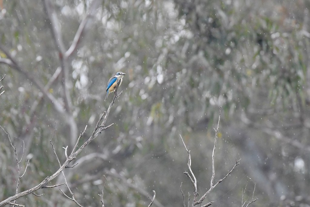 Sacred Kingfisher ( singing in the rain )