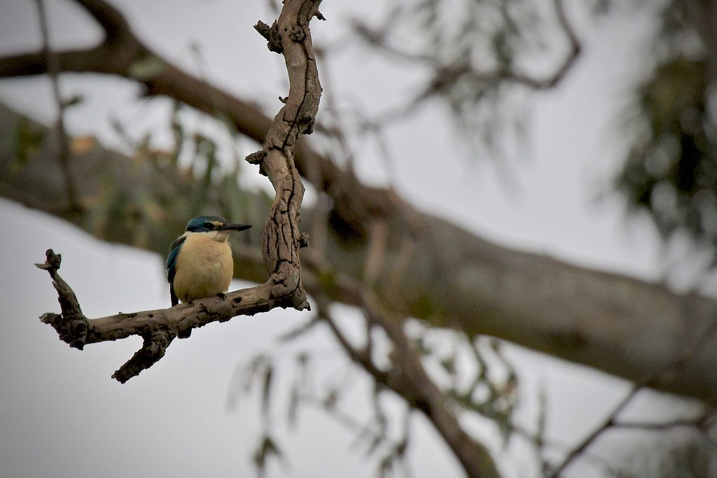 Sacred Kingfisher  ( just taking a rest )