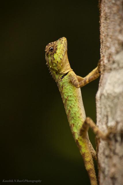 Elliot's Forest Lizard  (Monilesaurus ellioti)