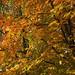 Die Rotbuche mit ihrem wunderschönen Herbstlaub