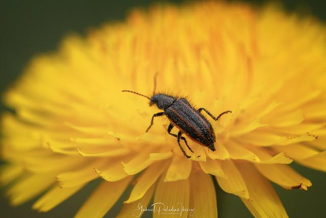 Astylus quadrilineatus