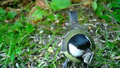 Rasvatihane / Great tit / Parus major / Kohlmeise / Большая синица / Talitiainen / Lielā zīlīte / Talgoxe