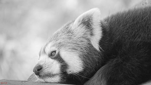 Panda - 7726