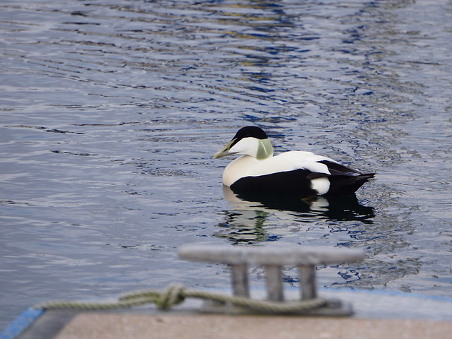 Eider Duck!