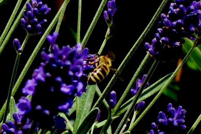 Blumen, Blüten, blossoms and flowers (serie) , Biene im Lavendel,  76808/12107