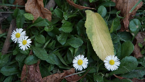 autumn and daisies