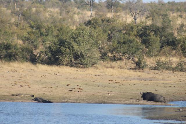 Buffalo & Crocodile