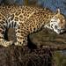 Jaguar im Zoo Krefeld