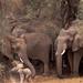 Mali 23-022, Carlton Ward Jr_ elephant adult caring for baby, Credit - Carlton Ward Photography (IDB)
