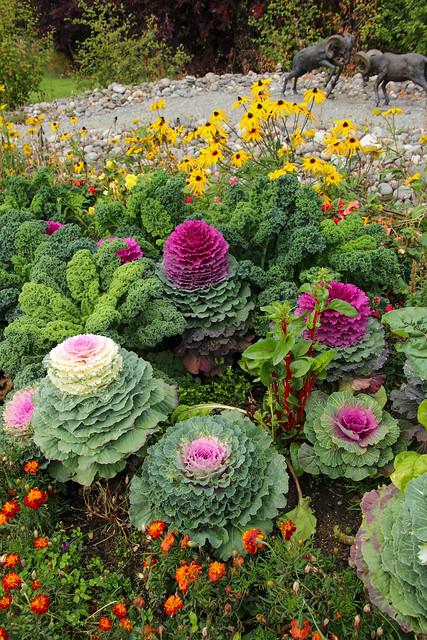 Ornamental Cabbage (Flowering Kale)