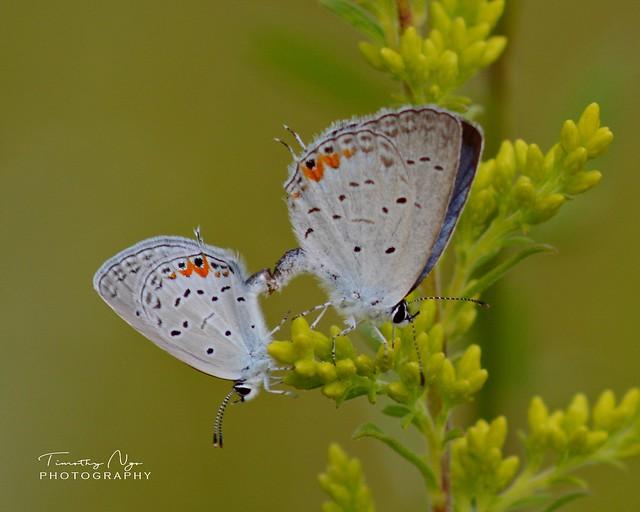 Eastern tailed blue butterflies on goldenrod flowers