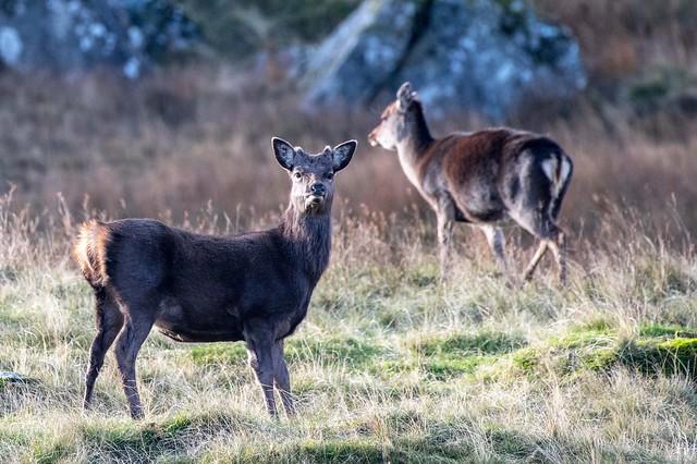 Silka Deer ,wicklow mountains