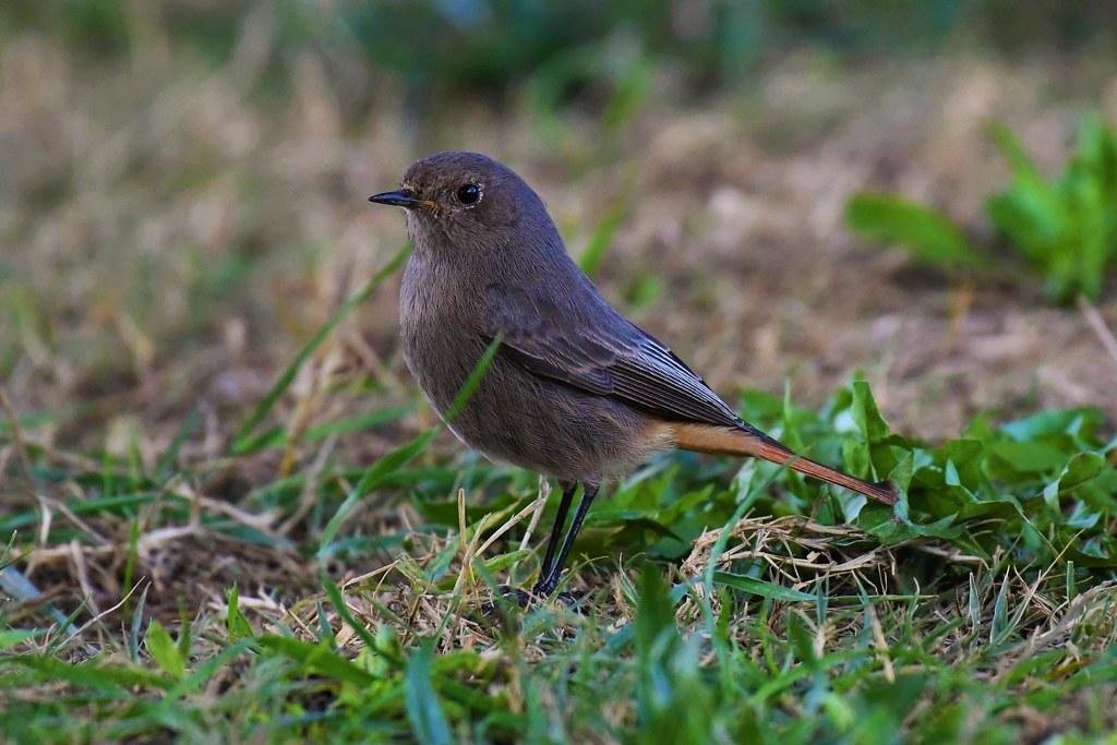 Rouge-queue noir - Phoenicurus ochruros - Black redstart