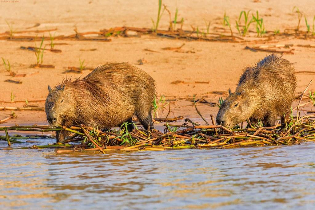 Browsing pair of Capybara (Hydrochaeris hydrochaeris)