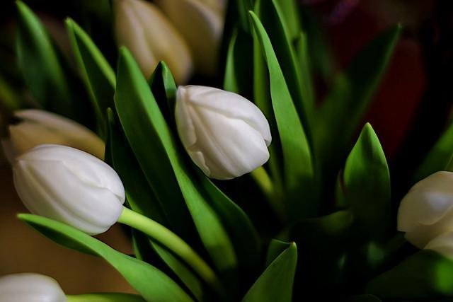 White Tulips at sunset