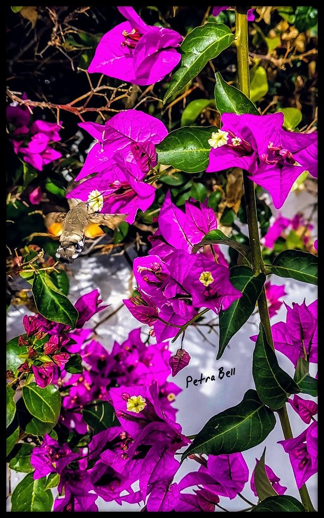 Bougainvilla with humming!