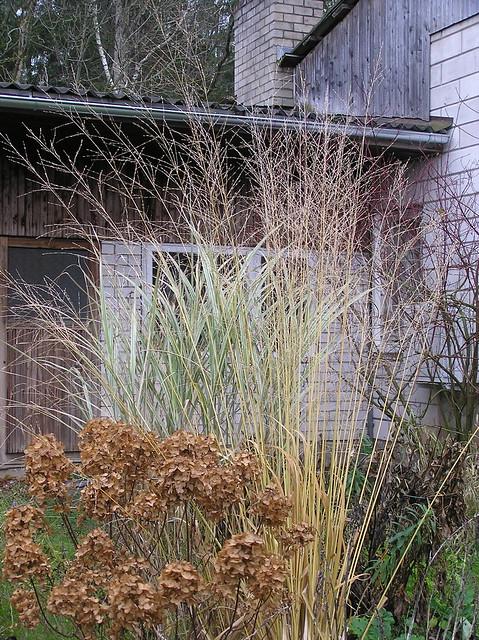 Molinia arundinacea planting