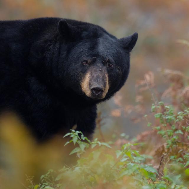 A bears stare!