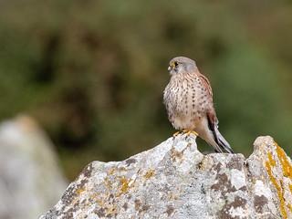 Eurasian Kestrel/Penereiro-de-dorso-malhado/Cernícalo común  (Falco tinnunculus) male