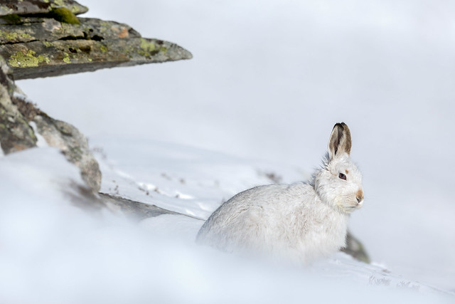 Sheltered - Mountain Hare