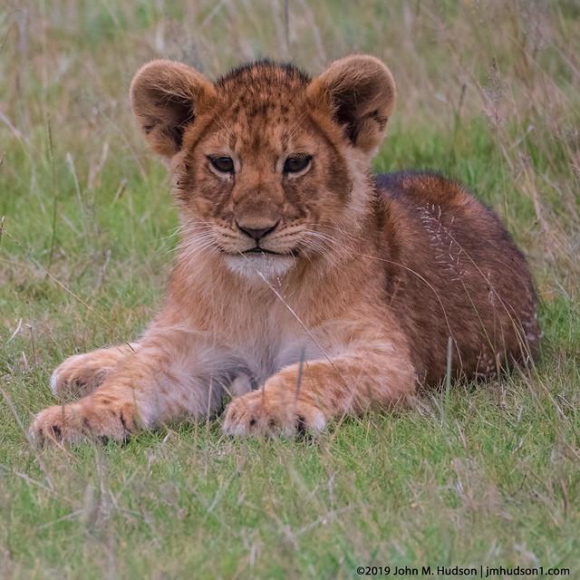2019.06.07.3146 Lion Cub