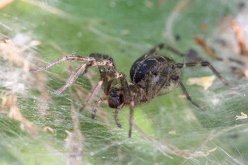 Labyrinth spider (Agelena labyrinthica) Gewone doolhofspin