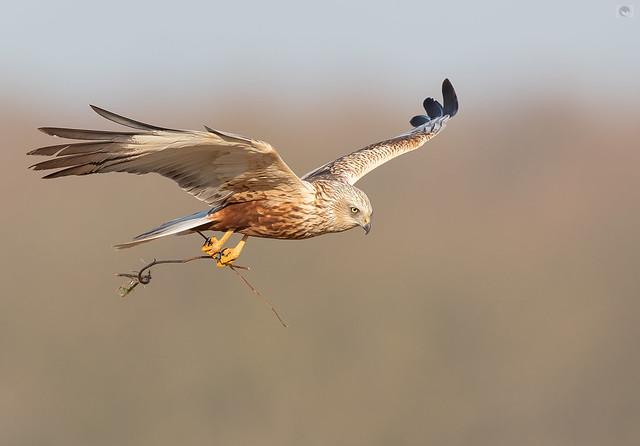 JWV_Western marsh harrier  male