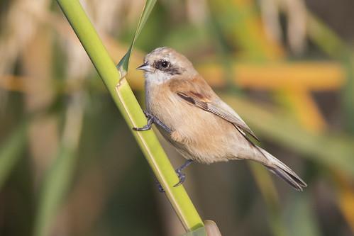 Υφάντρα, Penduline Tit (Remiz pendulinus), female bird, Nov. 2019