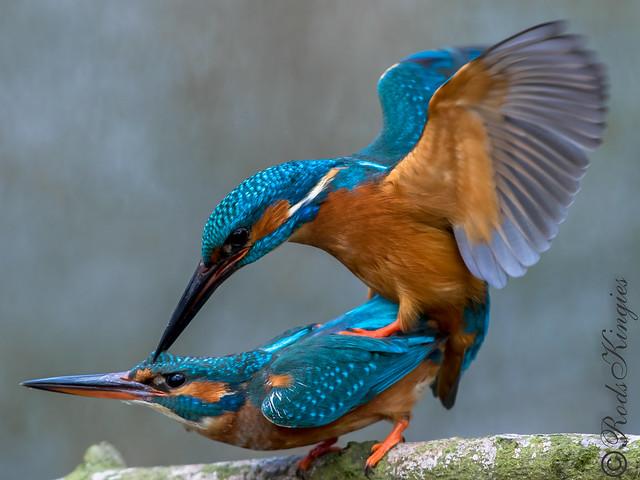 Kingfisher - April 2019