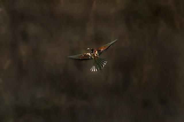 Abelharuco(Merops apiaster)