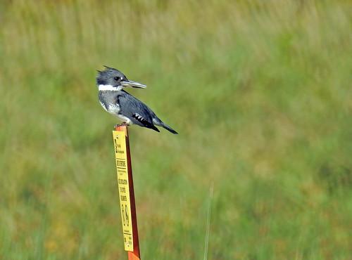 Belted Kingfisher ♂ - Martin-pêcheur d'Amérique ♂ - Megaceryle alcyon (P9_DSCN9878-1PSE-20180913)