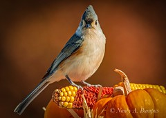Tufted Titmouse - Autumn 2019