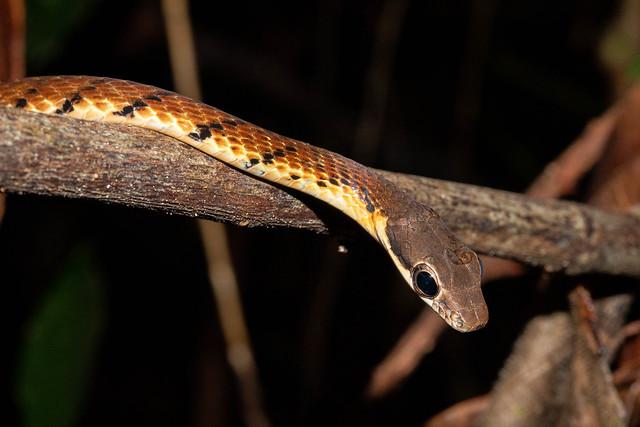 Dendrelaphis caudolineatus (Striped Bronzeback) - Colubridae - Sinharaja Forest Reserve, Sabaragamuwa Province, Sri Lanka-2