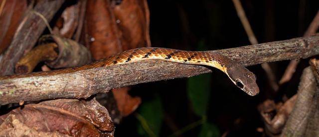 Dendrelaphis caudolineatus (Striped Bronzeback) - Colubridae - Sinharaja Forest Reserve, Sabaragamuwa Province, Sri Lanka
